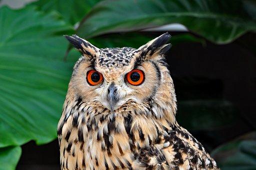 Owl, Bird, Birds Of Prey