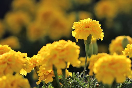 Yellow Taggetes, Flowers, Bloom, Blossom, Blooming
