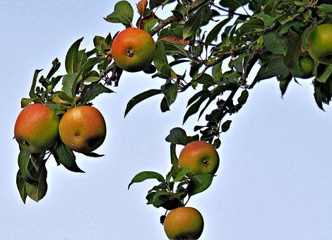 Tree, Apple Tree, Branch, Pome Fruit, Apple, Red