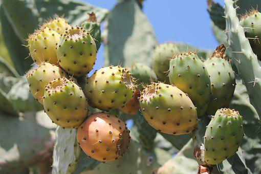 Prickly Pear, Cactus, Prickly, Fruits, Summer