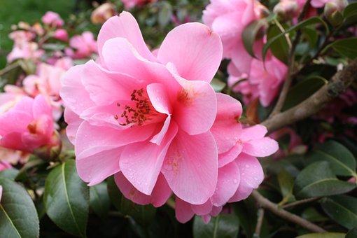 Camelia, Camellia Japonica, Camellia Sasanqua