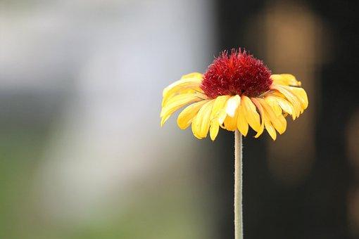 Blanket Flower, Gaillardia Aristata, Decorative