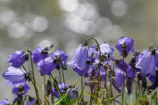 Flowers, Violet, Small Bellflower