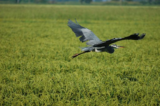 Gray Heron, Ali, Flight, Bird, Fly