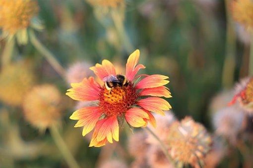 Bumblebee, Blanket Flower, Gaillardia Aristata
