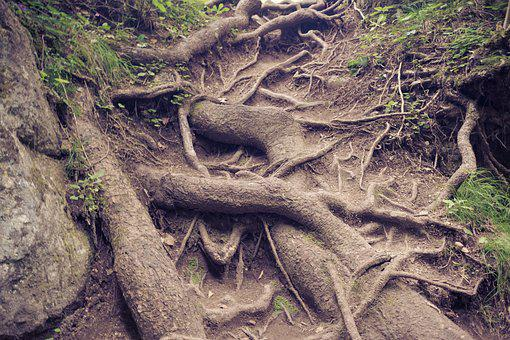 Roots, Trees, Nature, Root, Forest, Tree, Wood, Green