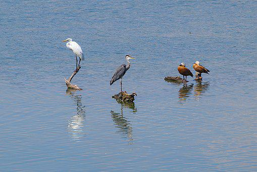 Grey Heron, Egret, Rust Goose, Bird, Lake