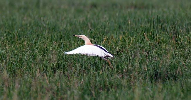 Bird, Wild, Wildlife, Javan, Pond, Heron, Natural