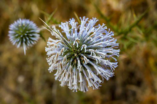 Thistle, Inflorescence, Flower, Plant, Summer, Nature