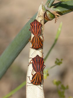 Beetle, Striped, Insect, Insect Breeding