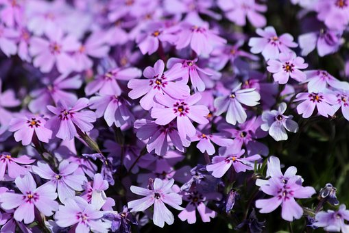 Campion, Plant, Flowers, Bloom, Flower Bed, Lilac