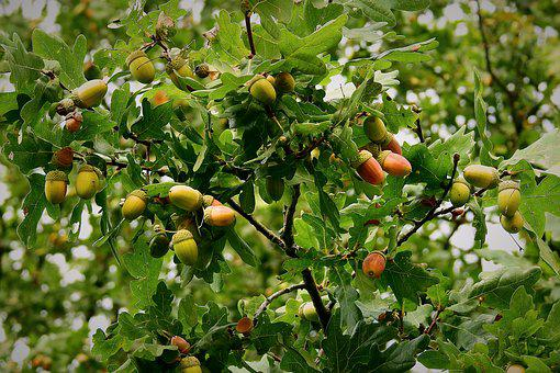 Acorns, Mature, Tree, Nature