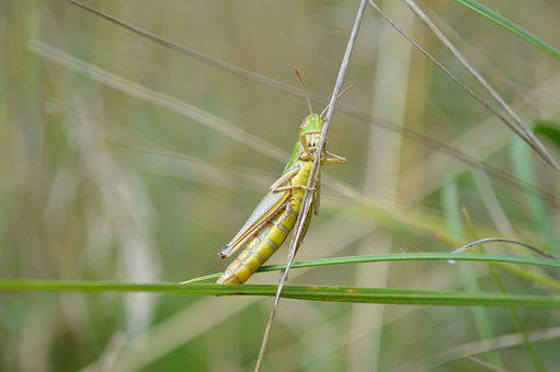 Grasshopper, Cricket, Insect, Nature, Green, Animal