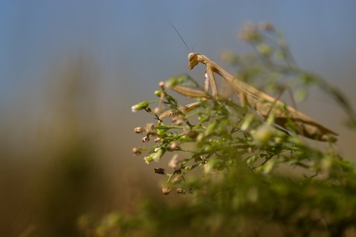 Praying, Nature, Summer, Insect, Macro, Creature