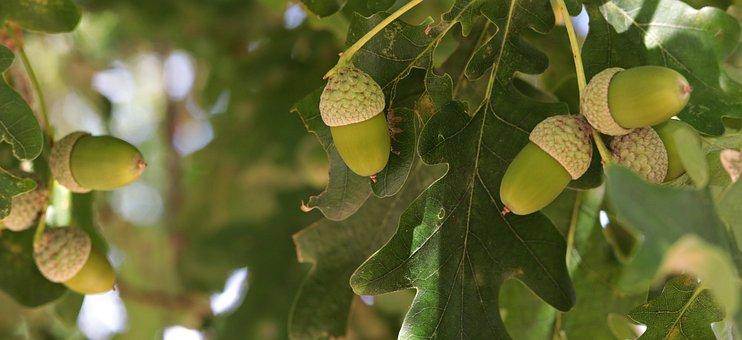 Acorn, Oak, Tree, Fruit, Nature, Forest, Green
