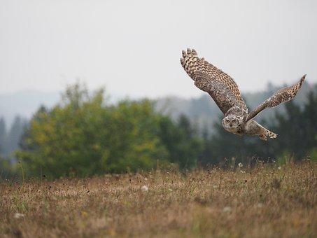 Bird, Animal, Owl, Sabertooth Tiger, Flight, Predator