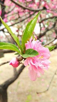 Peach, Peach Blossom, Flower, Plant, Pink, Spring