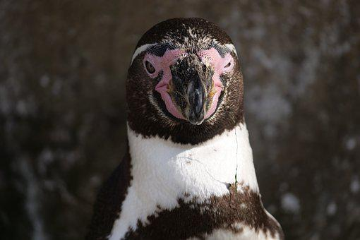 Animals, Animal World, Penguin, Head, Donkey Penguin