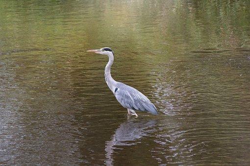 Heron, Water, Bill, Feather, Wade, Lake, Bird, Plumage