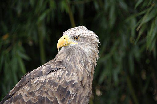 Adler, Bird, Pride, Bird Of Prey, Raptor, Bill, Plumage