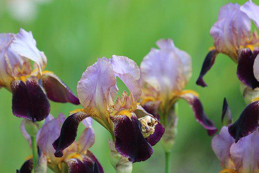 Irises, Purple, Lilac, Flowers, Handsomely
