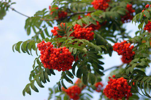 Rowan, Red, Fruit, Berries, Tree, Green, Plant, Summer