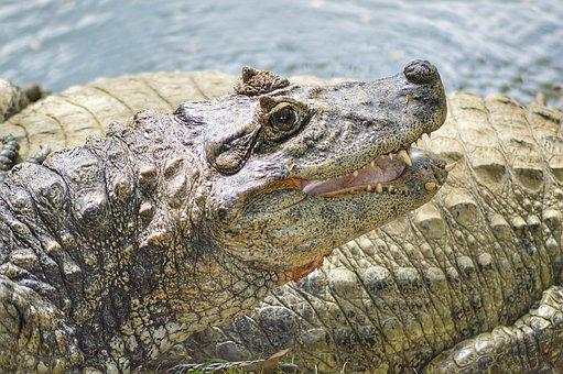 Alligator, Animal, Crocodile, Reptile, Predator, Nature