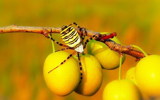 Tygrzyk Paskowany, Arachnid, Insect, Plum, Fruit