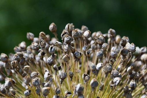 Leek, Seed, Garden, Plant, Blossom, Allium, Nature