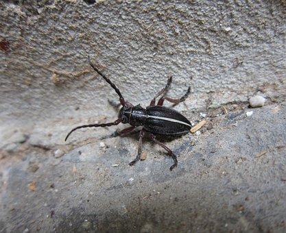 Beetle, Insect, Bug, Longhorn, Pedestredorcadion
