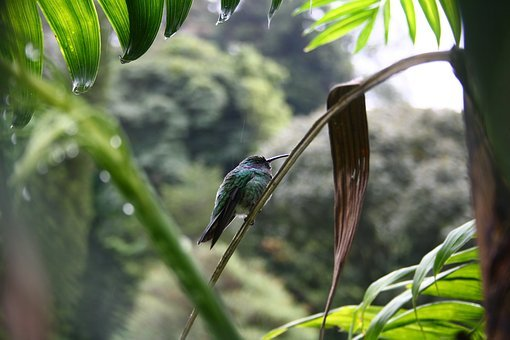 Hummingbird, Panama, Bird, Jungle, Bill, Be Duster