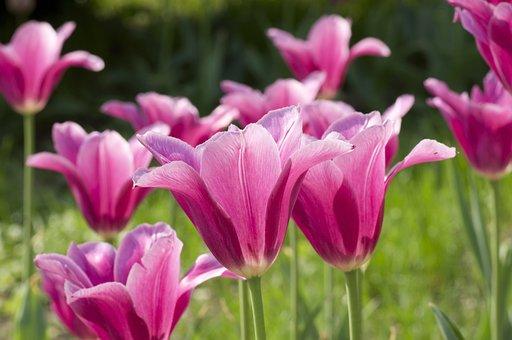 Tulip, Flower, Spring, Nature, Red, Blossom, Orange