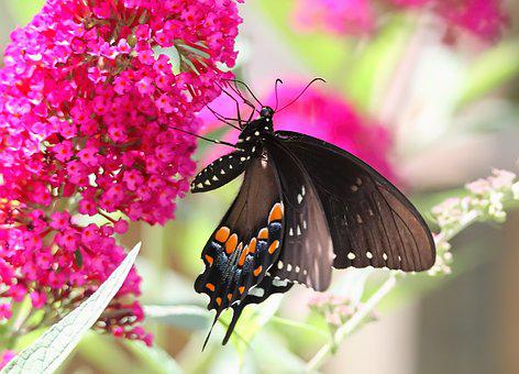 Butterfly, Spicebush, Swallowtail, Butterflies, Summer