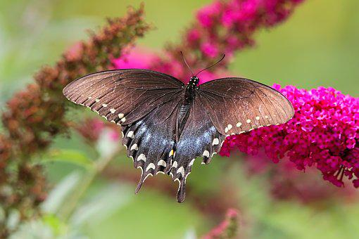 Butterfly, Spicebush, Swallowtail, Nature, Summer