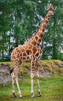 Giraffe, Close Up, Animal, Mammal, Portrait, Zoo