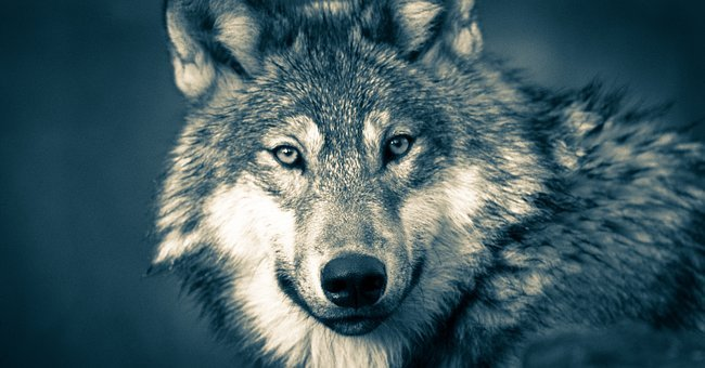 Wolf, Wolf Head, Wolves, Grey, Animal, Carnivore, Close