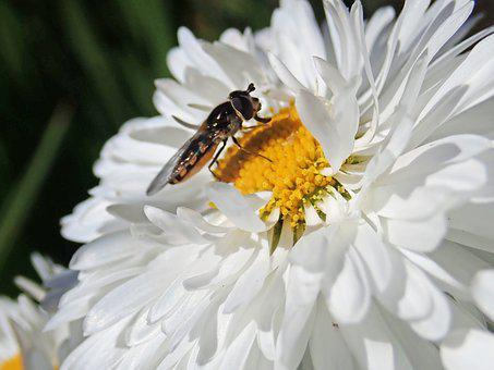 Hover Fly, Insect, Flower, Pollen, Daisy Nature