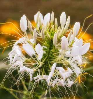 Spider Flower, Flower, Blossom, Bloom, Nature, Close Up