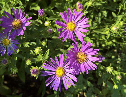 Flowers, Asters, Herbstastern, Composites