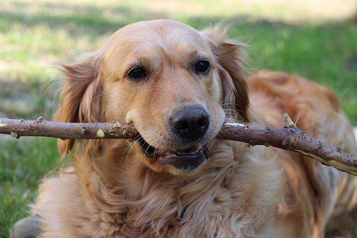 Dog, Golden Retriver, Friend, Stick, Water Toy, Fun