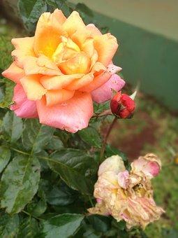 Roses, Margaritas, Flowers, Flower, Summer, Garden