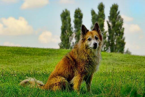 Nature, Mammal, Dog, Wolf Spitz, Landscape, Grass