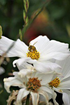 Margarite, Bee, Wasp, Insect, Flower, Bloom, Blossom