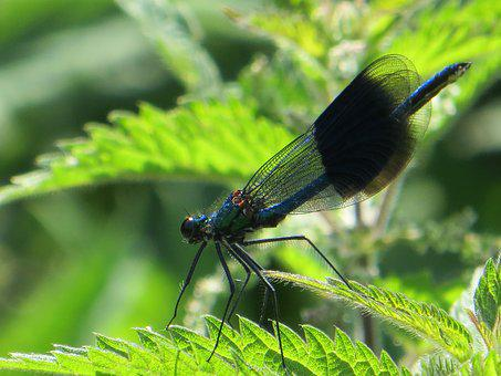 Damselfly, Nature, Insect, Wildlife, Wings, Bug