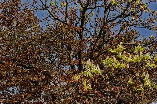 Nature, Tree, Horse Chestnut Tree, Chestnut Leafminer