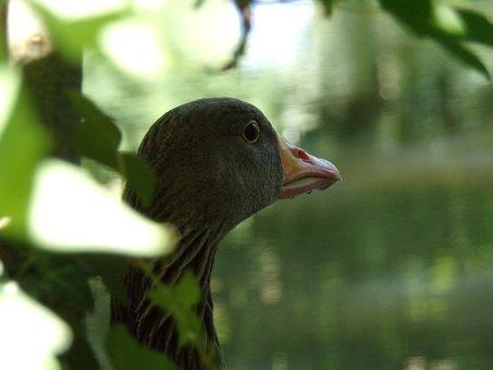 Goose, Wild, Bird, Nature, Water, Rochelle