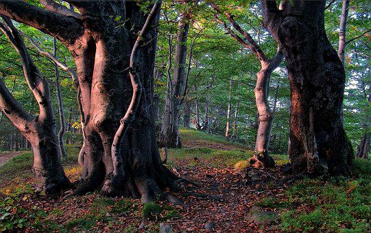 Beeches, West, Beskids, Mountains, Poland, Tree, Forest