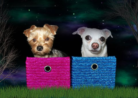 Dogs, Yorkshire Terrier, Chihuahua, Pet, Animal