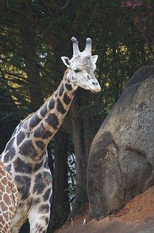 Giraffe, Animal, Africa, Zoo