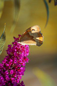 Butterfly, Lycaon, Animal, Edelfalter, Nature, Lilac
